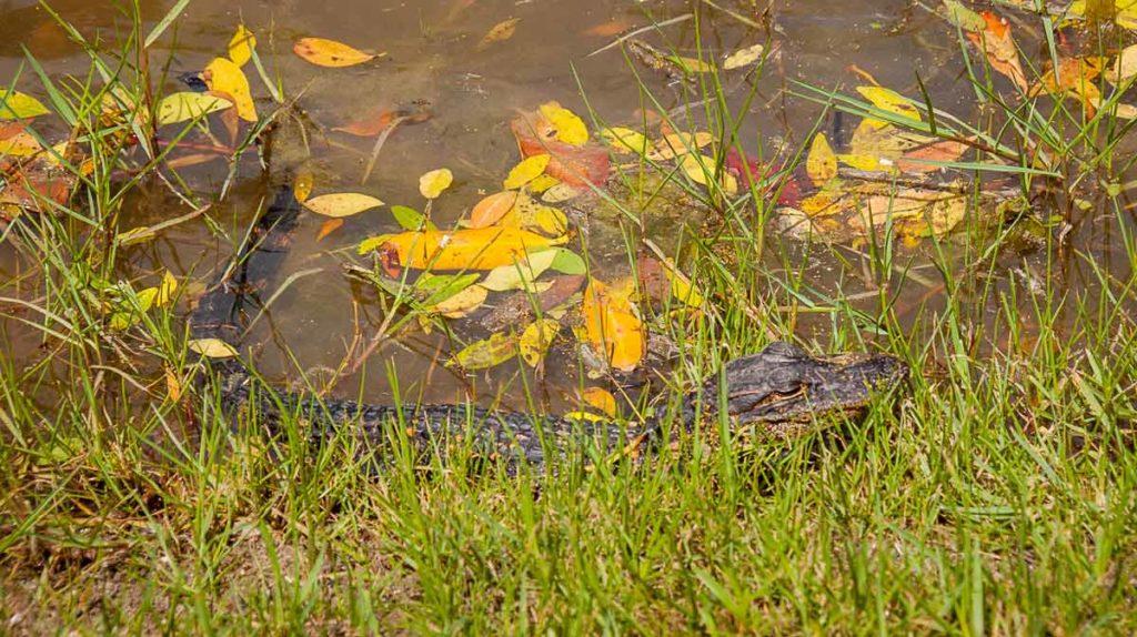 Aligátor na Floridě
