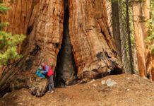 Sekvoje - obrovské stromy