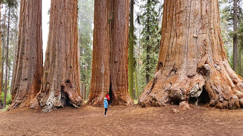 Stromy Sekvoje